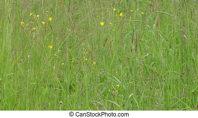 Summer meadow. - Water drops on a green meadow grass a close...