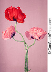One red and two pink Poppy flowers on a pink background