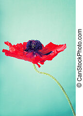An opened out red poppy flower on a green vintage background