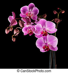 Cultivated orchid closeup over black background - square...