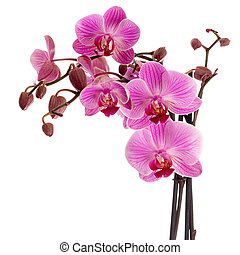 Cultivated orchid closeup iolated over white background -...