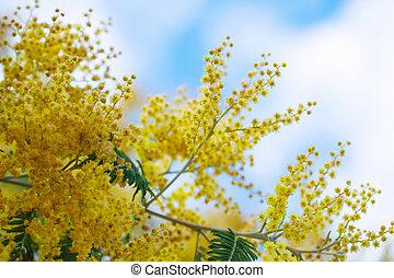 Acacia dealbata branches against sky - yellow Acacia...
