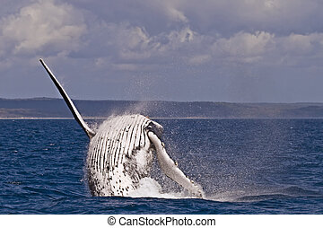 Humpback whale breach - A Humpback whale breach in the...