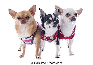 dressed chihuahuas - portrait of purebred chihuahuas in...