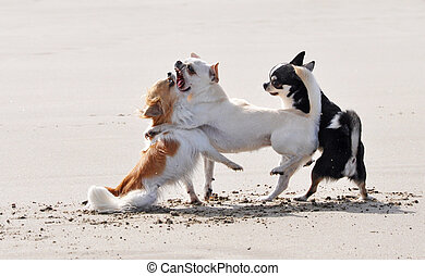 fighting chihuahuas on the beach - portrait of a fighting...