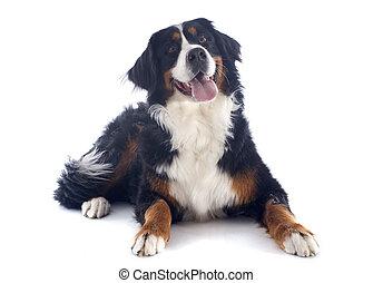 bernese moutain dog - portrait of a purebred bernese...