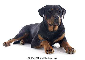 rottweiler - portrait of a purebred rottweiler in front of...