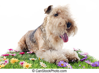 lakeland terrier on grass in front of white background