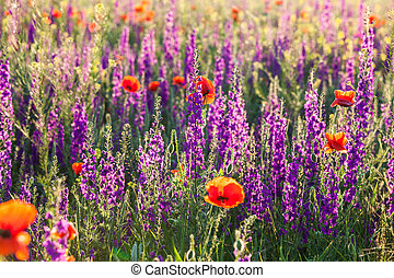 Field of violet lavender and red poppy flowers on morning...