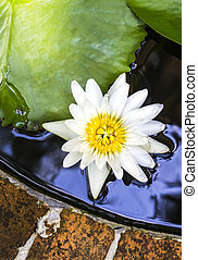 White lotus in pond