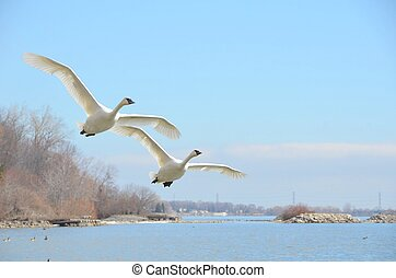 Flying Trumpeter Swan - closeup of two rare Trumpeter swan...