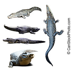 crocodiles over white with shade - Set of crocodiles over...