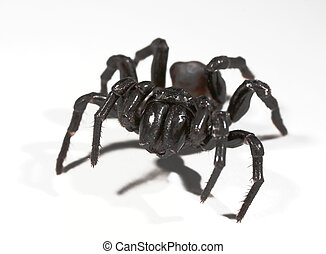 funnel web spider - a funnel web spider on white