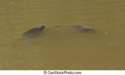 speaking carp on surface of a pond