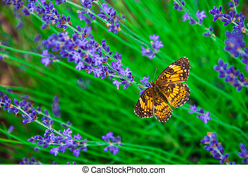A butterfly and lavender flowers - In Lawrence, Kansas, USA