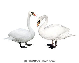 Two swans - Two white swans Isolated over white