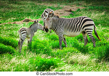 Hartmann mountain zebras - Hartmann's mountain zebra mother...