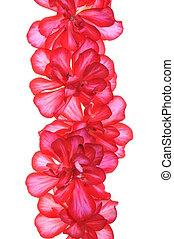 Geranium flower, garden decoration isolated on white...