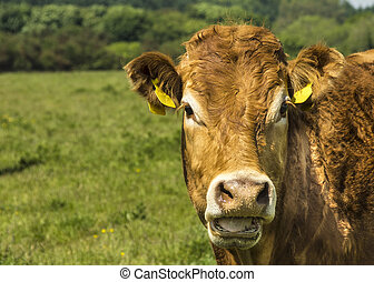 Limousin Cow In Green Pasture