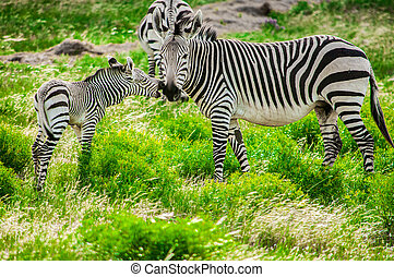 Hartmann mountain zebras - Hartmanns mountain zebra mother...