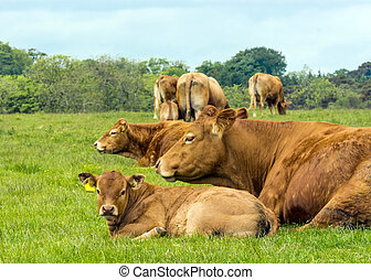 Limousin Cow And Calf - Limousin Cows In Green Pasture