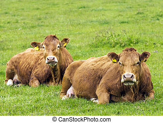 Limousin Cows In Green Pasture