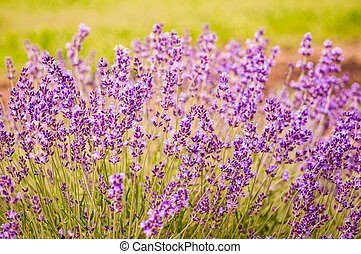 Lavender flowers blooming in field