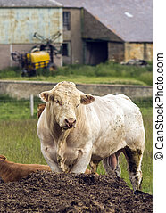 White Charolais Stud Bull