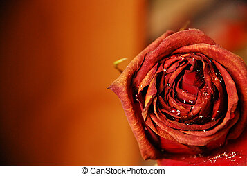 rose flower closeup with waterdrops - Red rose flower...