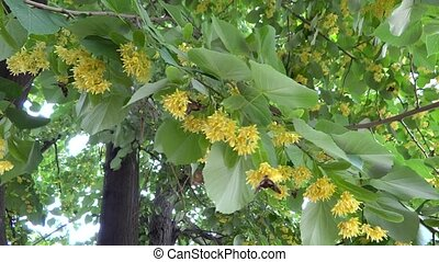 branch of the linden flowers with butterflies in the breeze
