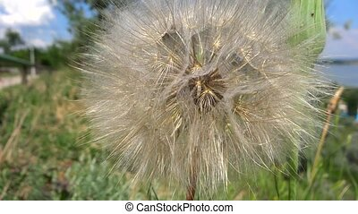 close up dandelion in the breeze