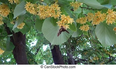 close up linden tree with butterfly in the breeze