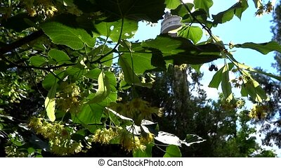 linden flower tree in the sun