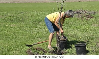 woman planting an apple tree - woman planting a tree in the...