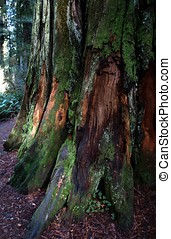 Close up of Mossy redwood tree