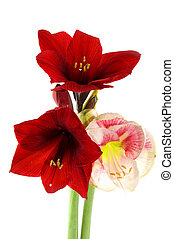 Amaryllis in red and pink