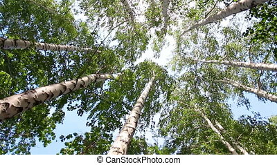 turning tops of summer birch trees with sun shining -...