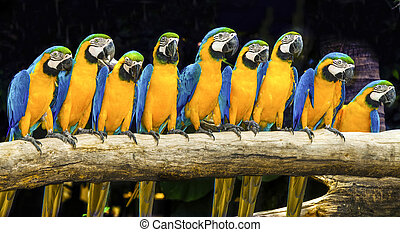 Blue macaws sitting on log. - Blue macaws sitting on log...