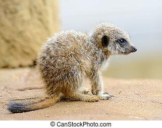 Meerkat, bébé