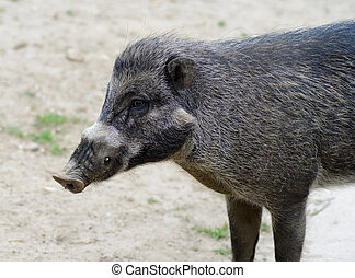 Visayan warty pig closeup profile showing fur deatail and...