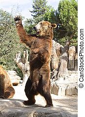 marrón, ondulación, oso