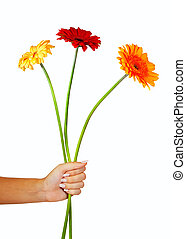 three daisy flowers in hand. Isolated over white - three...