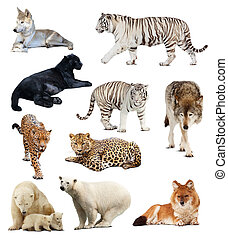 Set of images of carnivores Isolated over white background...