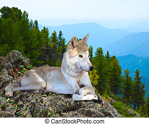 White wolf lays on rock in wildness area
