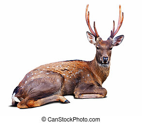 Sika deer over white background - Sitting Sika deer (Cervus...