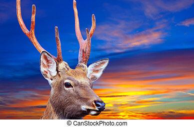 Sika deer against sinset - Sika deer (Cervus nippon) against...