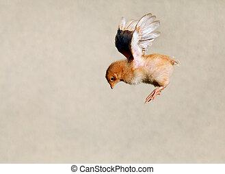 voando, galinha