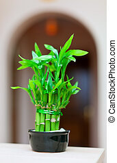 lucky bamboo plant in pot at house interior