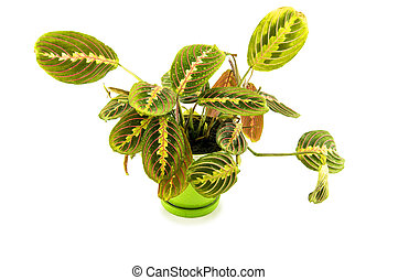 Maranta houseplant on a white background