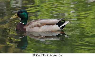 Duck on the pond in the park. Slow motion